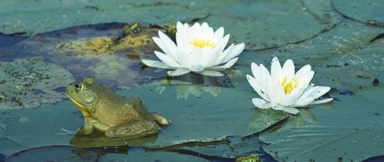 Photo of lilypads with white flowering blooms and a bullfrog sitting peacefully